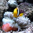 Nemo fish — Stockfoto #30579353