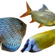 Three Aquarium saltwater fish — Stock Photo #30804907