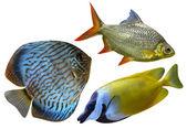 Three Aquarium saltwater fish — Stock Photo