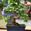 Ficus Bonsai — Stock Photo