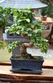Ficus Bonsai — Stock Photo