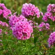 Phlox flowers glade — Stock Photo
