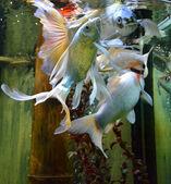 Fishes in aquarium — Stock Photo