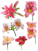 Lilies flowers isolated — Stock Photo