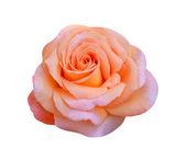 Rose isolated — Stock Photo