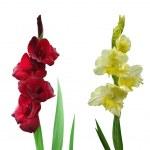 Multicolored gladiolus flowers — Stock Photo