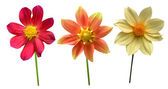 Dahlias Flowers set — Stock Photo