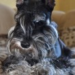 Stock Photo: Miniature schnauzer