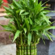 Stock Photo: Bamboo plant in pot