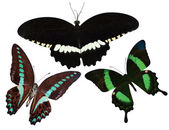 Collection of tropical butterflies — Stock Photo