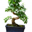Stock Photo: Ficus in pot