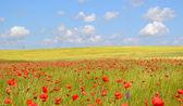 Campo de papoulas flores — Foto Stock