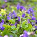 Violets — Stock Photo #44192623