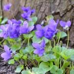 Violets — Stock Photo #44331523