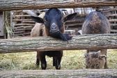 Goatlings — Stock Photo