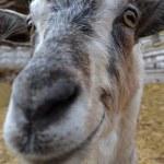 Smiling goat — Stock Photo #45331209