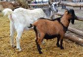 Goats near the fence — Stock Photo