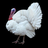 White turkey — Stock Photo