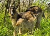 Ziege mit junge Ziege — Stockfoto