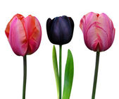 λουλούδια της τουλίπες — Φωτογραφία Αρχείου