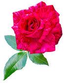Rose — 图库照片