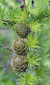 Branch with cones — Foto de Stock