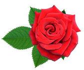 Flor de rosas — Fotografia Stock