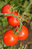 RIpe garden tomatoes ready for picking — Stock Photo