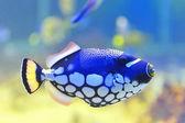 Blue fish aquarium — Stock Photo
