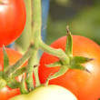 Close up of fresh red tomatoes still on plant — Stock Photo #37662915