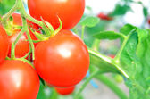 Close up of fresh red tomatoes still on the plant — Stock Photo