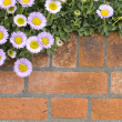 Brick wall with flowers. Fleabane. Erigeron — Stock Photo