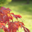 Japanese Maple leaves — Stock Photo