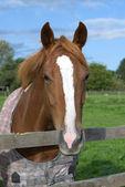 A horse portrait — Stock Photo