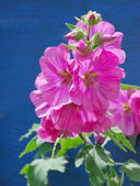 Bristly Hollyhock — Stock Photo