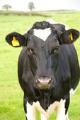 Black and white cow in pasture — Stockfoto
