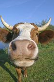 Curious dairy cow — Stock Photo