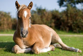 Foal, New Forest, England — Stock Photo
