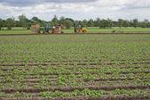 Bramborová pole ve Velké Británii suffolk — Stock fotografie