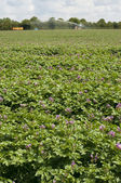 Potato field irrigation in Suffolk UK — Stock Photo