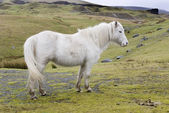 Welsh Pony 2 — Stock Photo