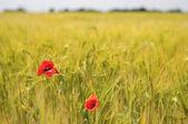 Papaveri di campo di grano — Foto Stock