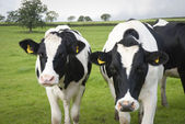 Dairy farm cows in UK — Stock Photo