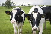 Fazenda de gado leiteiro de vacas no reino unido — Foto Stock