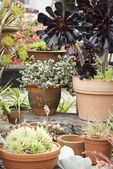 Potted succulents at garden centre — Stock Photo