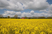 Rape field in UK — Stock Photo
