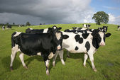 Holstein cows — Stock Photo