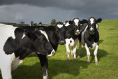 Holstein cows in Wales — Stock Photo