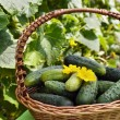 Stock Photo: Harvest cucumbers in basket on green background