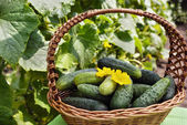 Harvest cucumbers in a basket on the green background — 图库照片